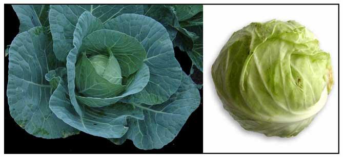 Repolyo Brassica Oleracea Cabbage Philippine Medicinal Herbs