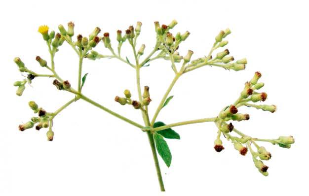 Sambong / Blumea balsamifera (Linn ) DC / BLUMEA CAMPHOR