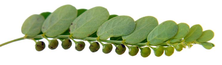 Sampa-sampalukan, Phyllanthus niruri, Seed-under-leaf:, chanca