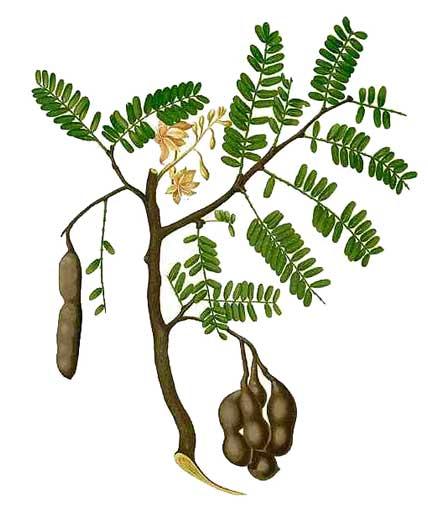 Tamarindus Indica Extract Showed Tamarindus Indica