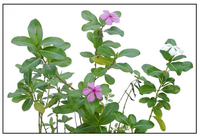 Tsitsirika / periwinkle / Catharanthus roseus: Herbal