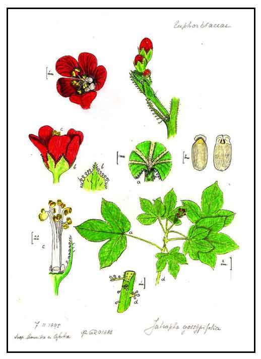 Tuba-tuba, Jatropha gossypifolia, RED PHYSIC NUT, Ye lie yan